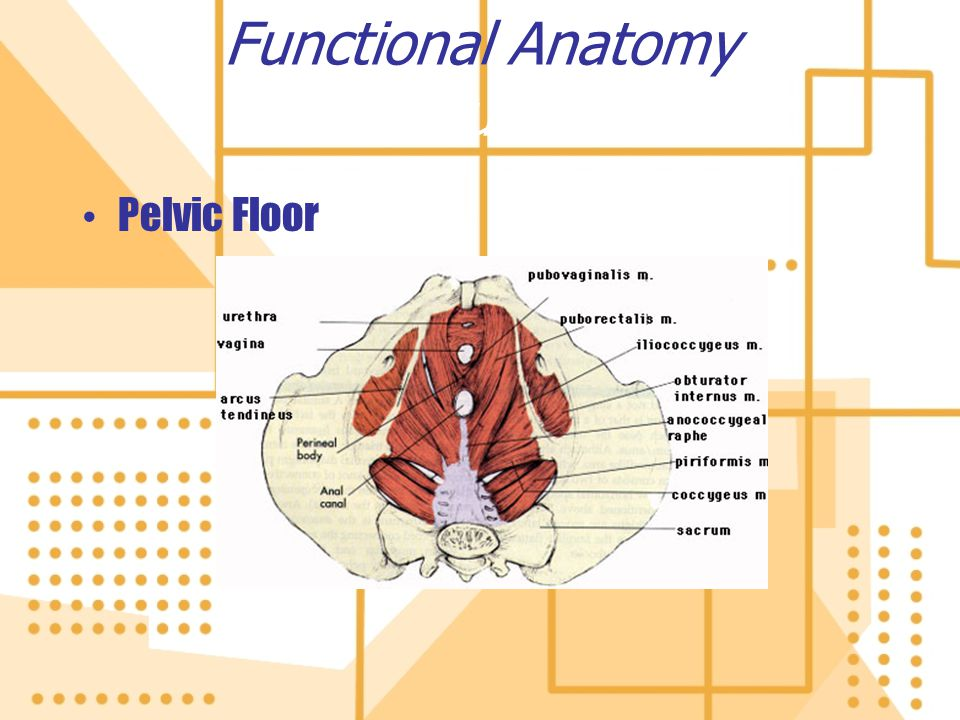 Functional Anatomy Trunk
