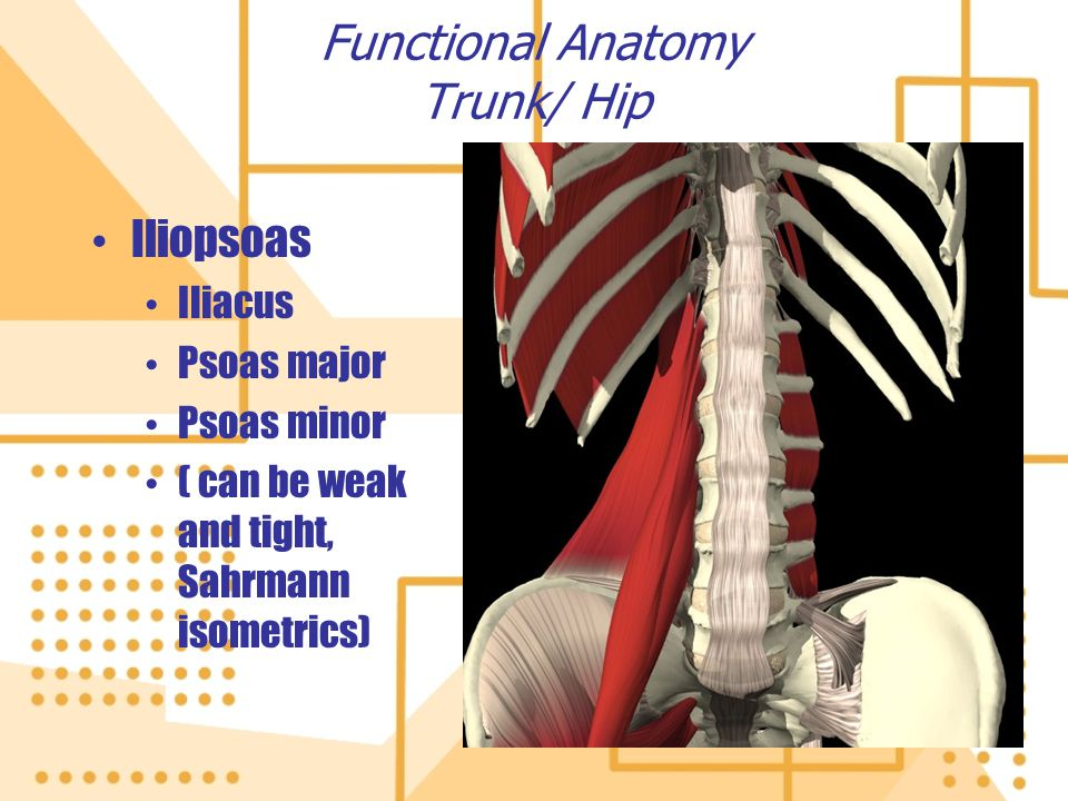Functional Anatomy Trunk/ Hip