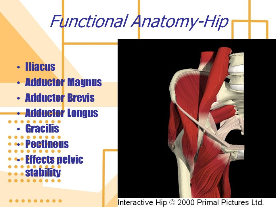 Functional Anatomy-Hip