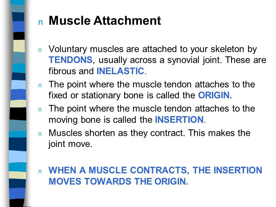 Muscle Attachment Voluntary muscles are attached to your skeleton by TENDONS, usually across a synovial joint. These are fibrous and INELASTIC.