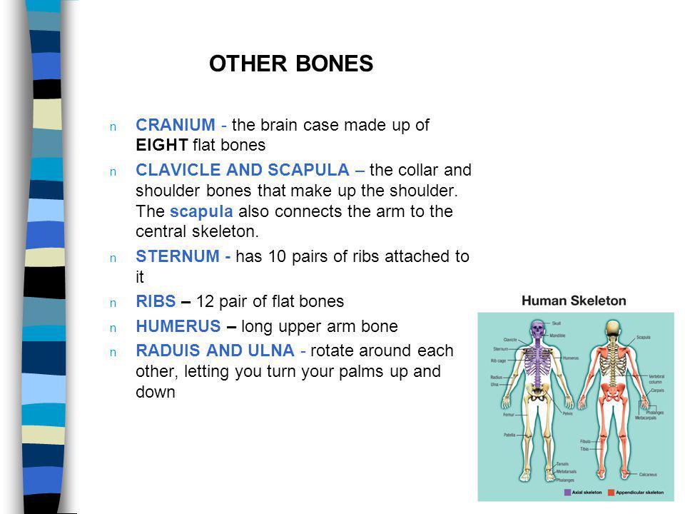 OTHER BONES CRANIUM - the brain case made up of EIGHT flat bones
