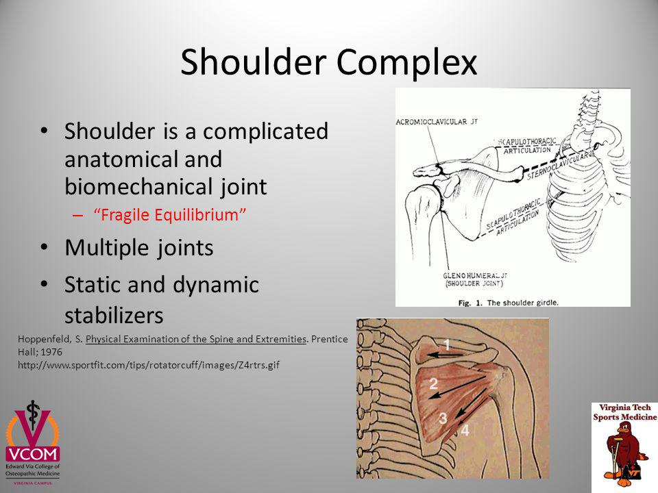 Shoulder Complex Shoulder is a complicated anatomical and biomechanical joint. Fragile Equilibrium