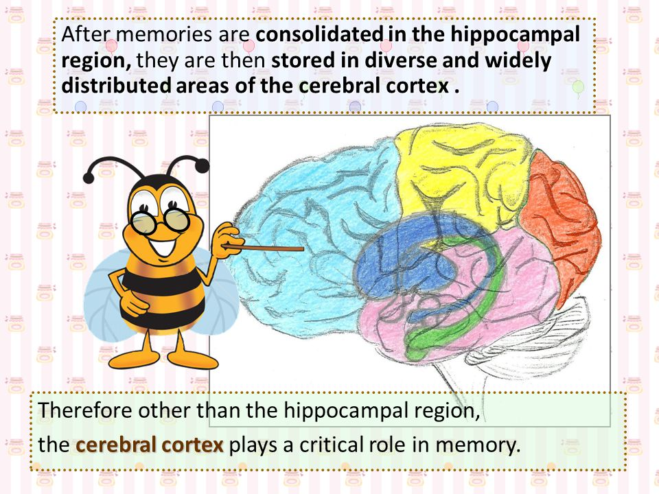 After memories are consolidated in the hippocampal region, they are then stored in diverse and widely distributed areas of the cerebral cortex .