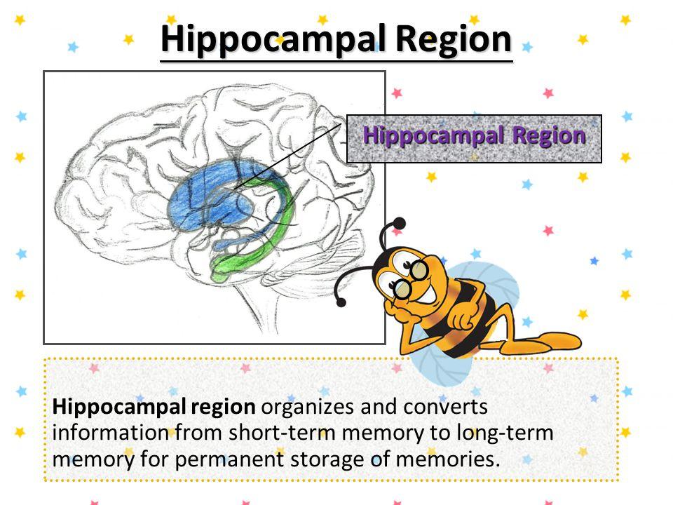 Hippocampal Region Hippocampal Region
