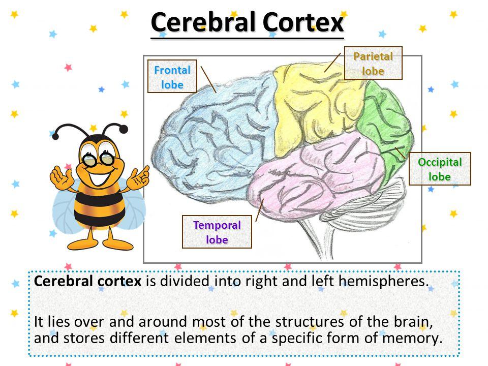 Cerebral Cortex Parietal lobe. Frontal lobe. Occipital lobe. Temporal lobe. Cerebral cortex is divided into right and left hemispheres.