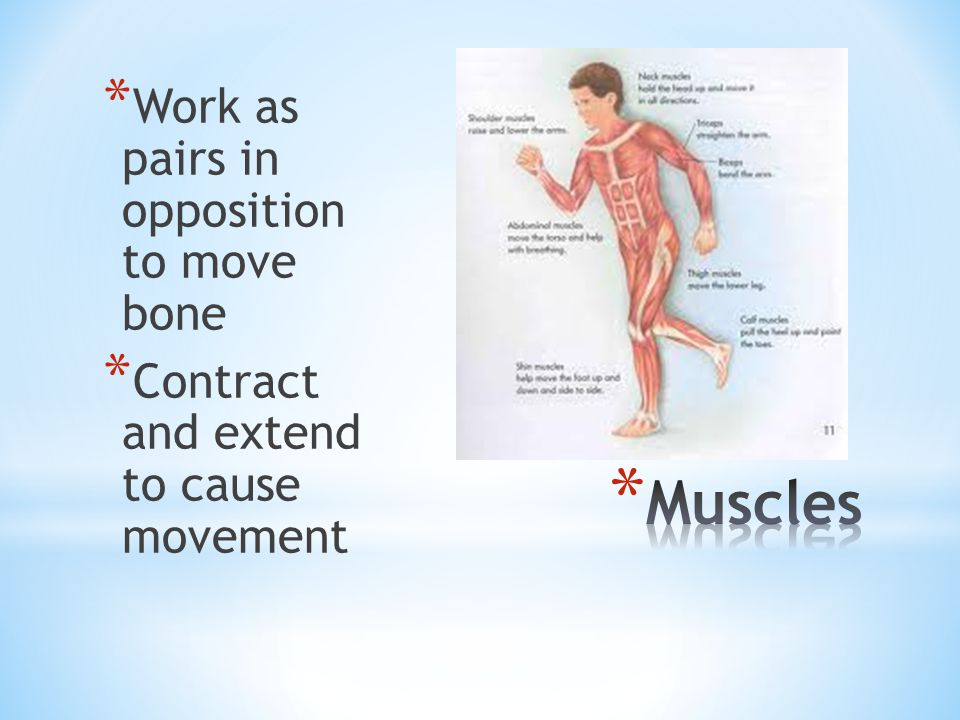 Muscles Work as pairs in opposition to move bone
