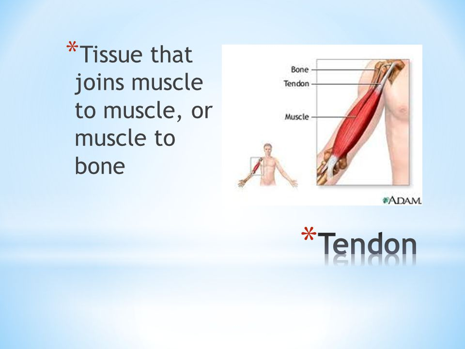 Tissue that joins muscle to muscle, or muscle to bone