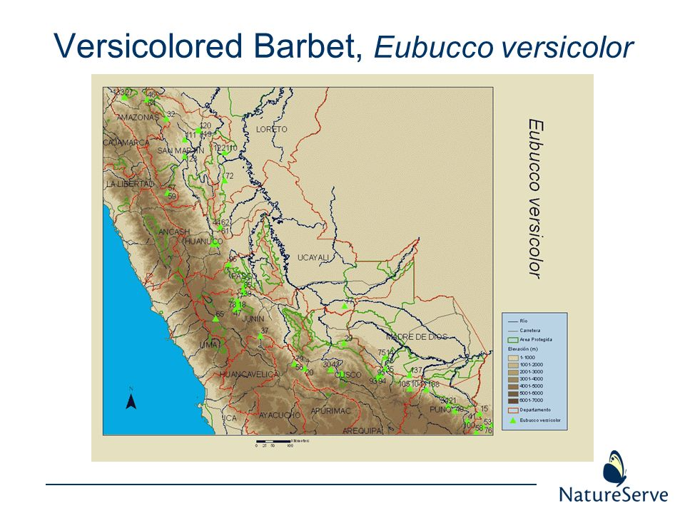 Versicolored Barbet, Eubucco versicolor