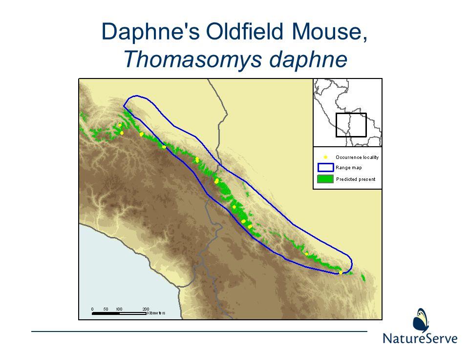 Daphne s Oldfield Mouse, Thomasomys daphne