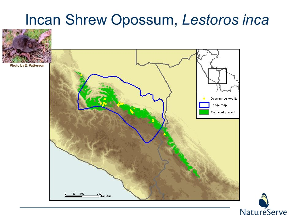 Incan Shrew Opossum, Lestoros inca