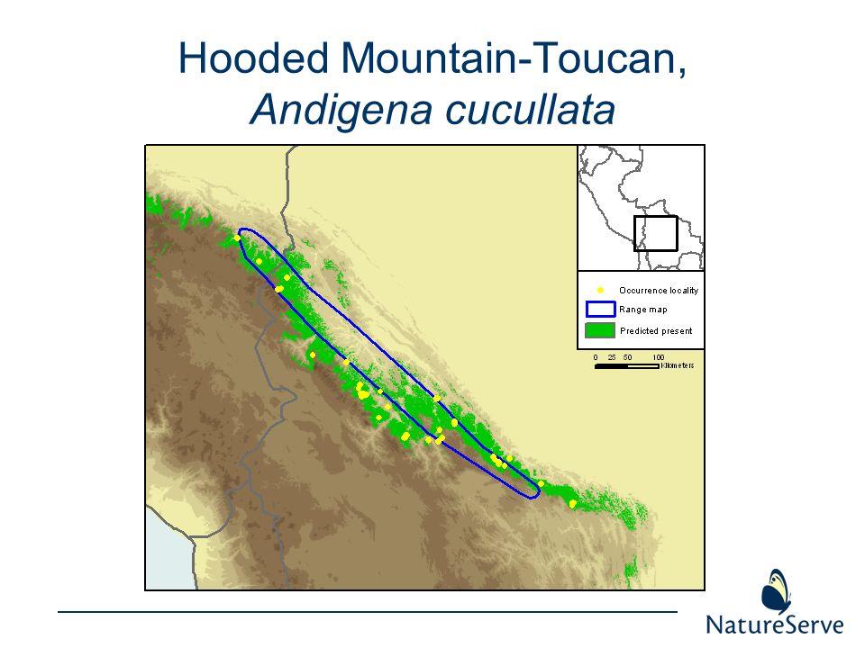 Hooded Mountain-Toucan, Andigena cucullata