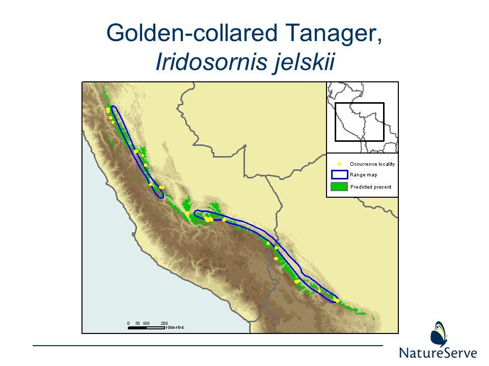 Golden-collared Tanager, Iridosornis jelskii