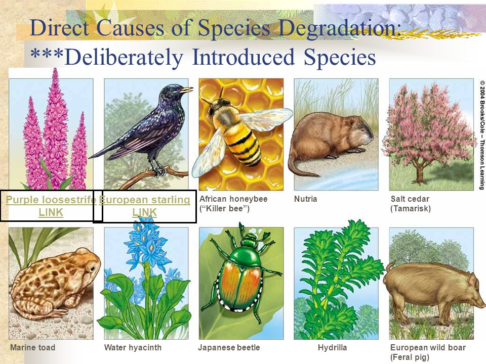 Direct Causes of Species Degradation: ***Deliberately Introduced Species