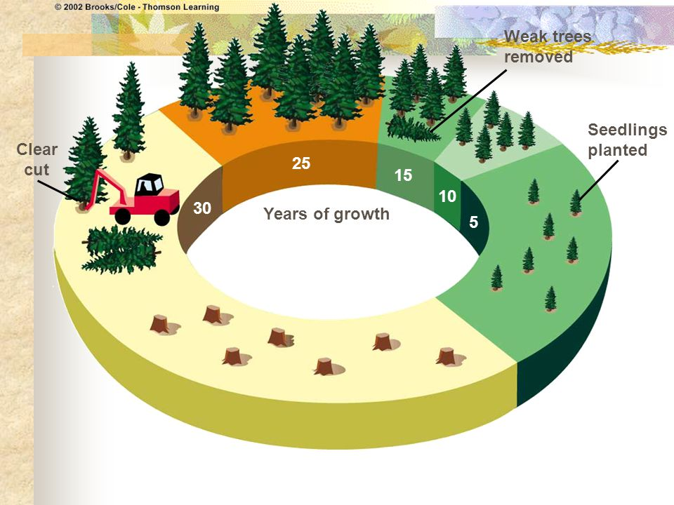 Weak trees removed Seedlings planted Clear cut 25 15 10 30 Years of growth 5