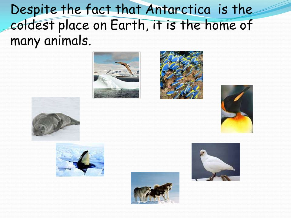 Despite the fact that Antarctica is the coldest place on Earth, it is the home of many animals.