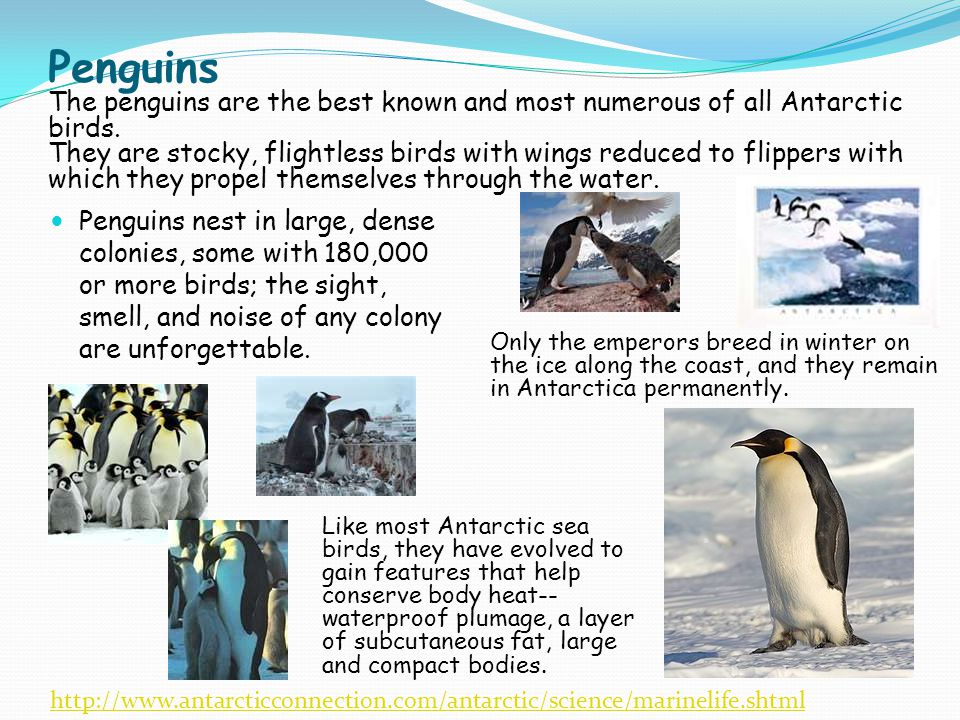 Penguins The penguins are the best known and most numerous of all Antarctic birds. They are stocky, flightless birds with wings reduced to flippers with which they propel themselves through the water.