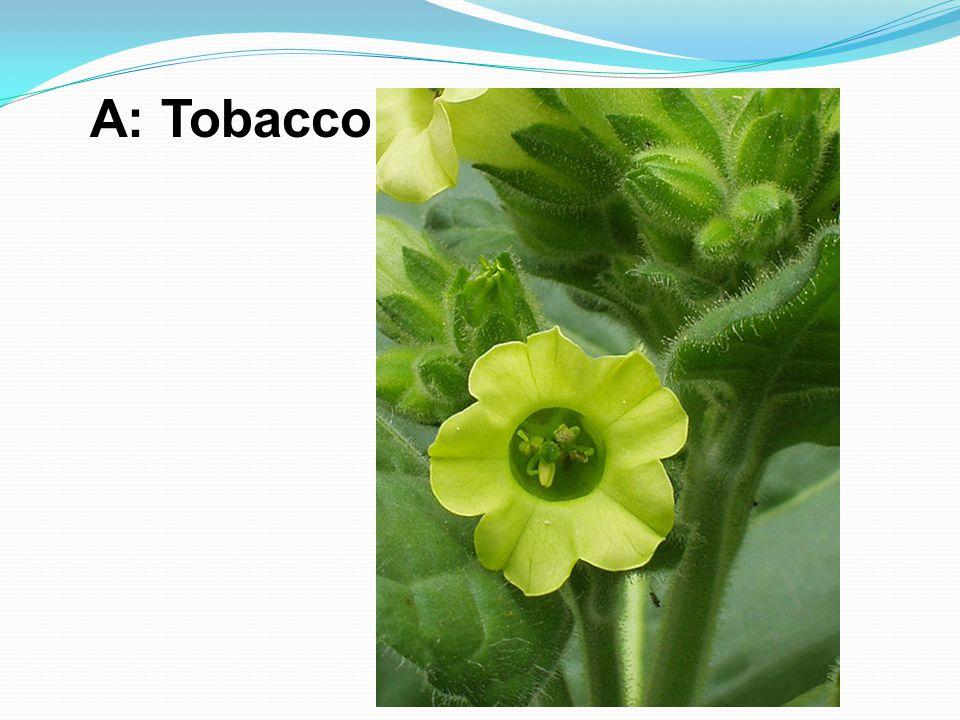 A: Tobacco