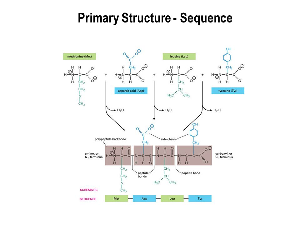 Primary Structure - Sequence