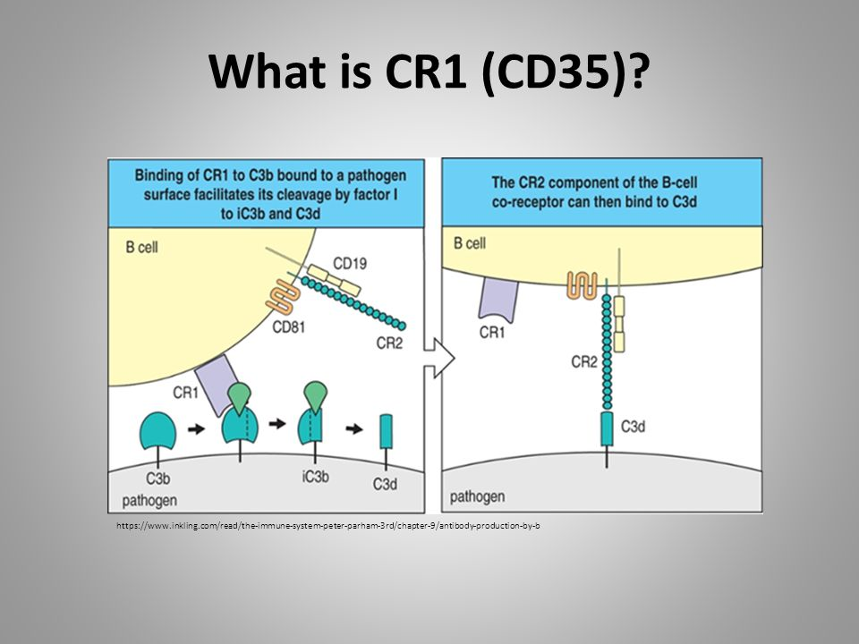 What is CR1 (CD35) https://www.inkling.com/read/the-immune-system-peter-parham-3rd/chapter-9/antibody-production-by-b.
