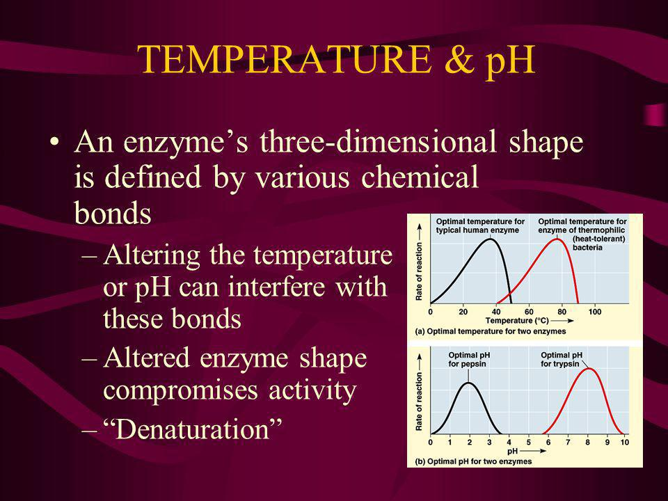 TEMPERATURE & pH An enzyme's three-dimensional shape is defined by various chemical bonds.