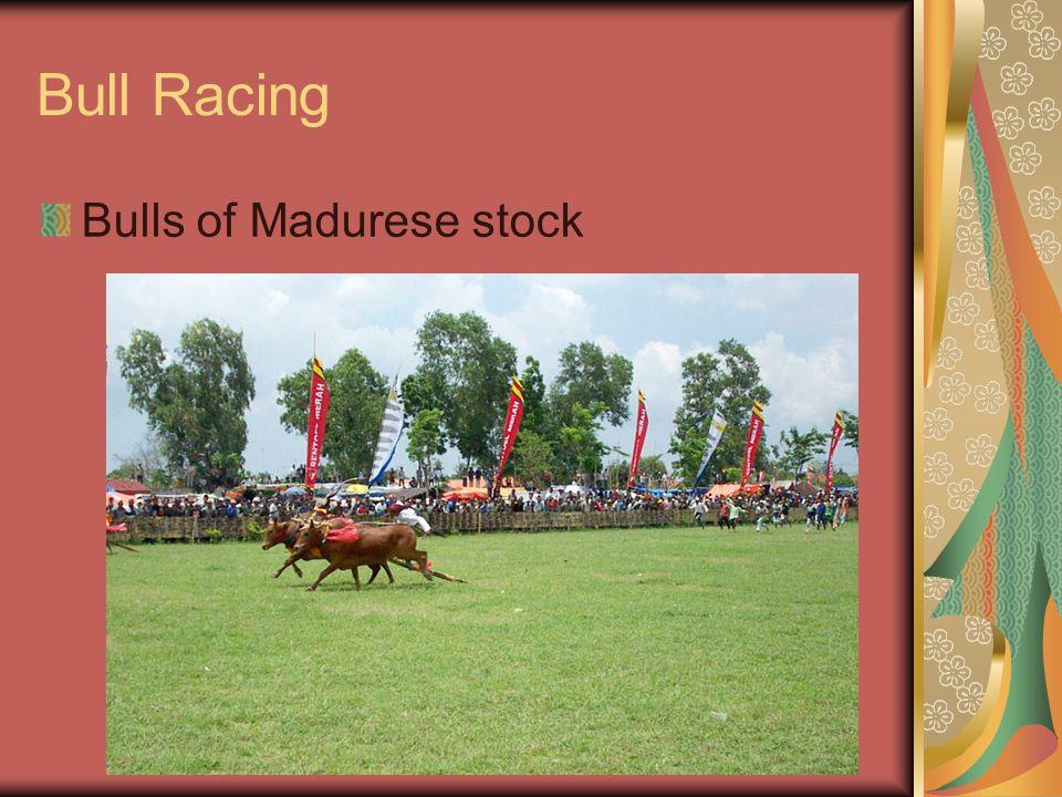 Bull Racing Bulls of Madurese stock