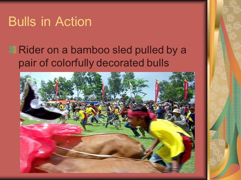 Bulls in Action Rider on a bamboo sled pulled by a pair of colorfully decorated bulls