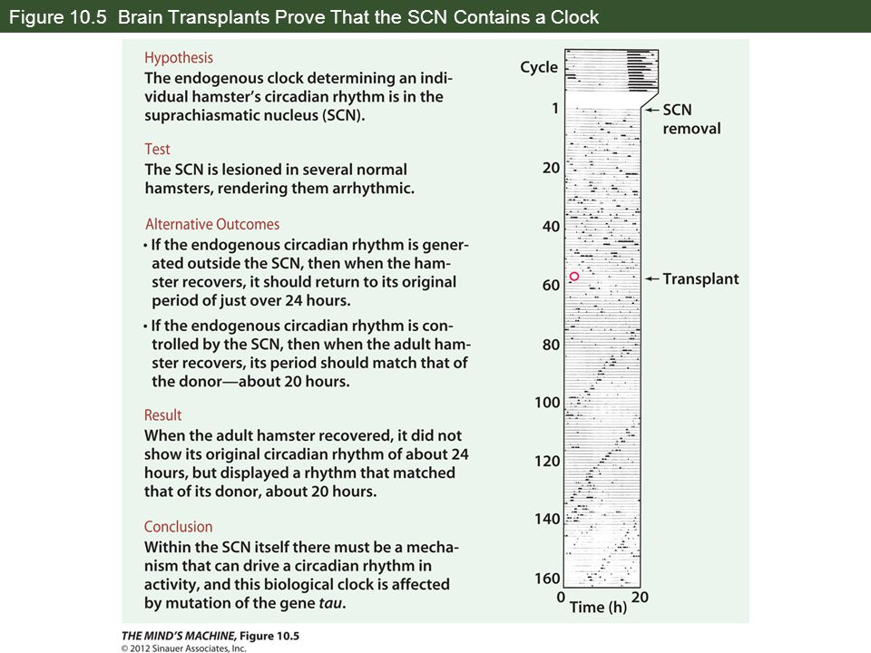 Figure 10.5 Brain Transplants Prove That the SCN Contains a Clock