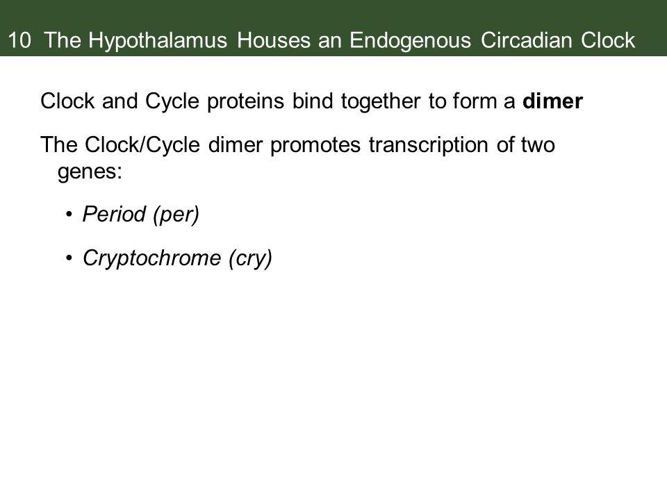 10 The Hypothalamus Houses an Endogenous Circadian Clock
