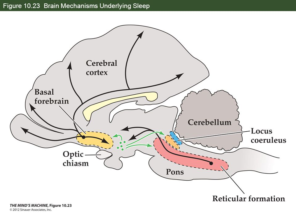 Figure 10.23 Brain Mechanisms Underlying Sleep