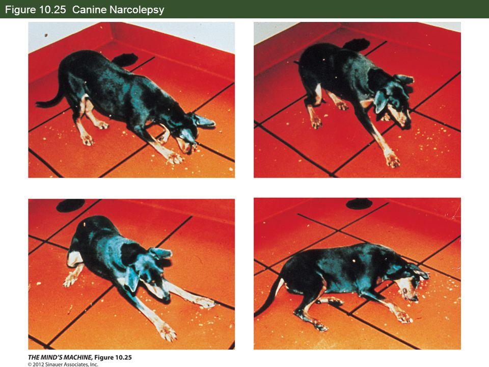 Figure 10.25 Canine Narcolepsy