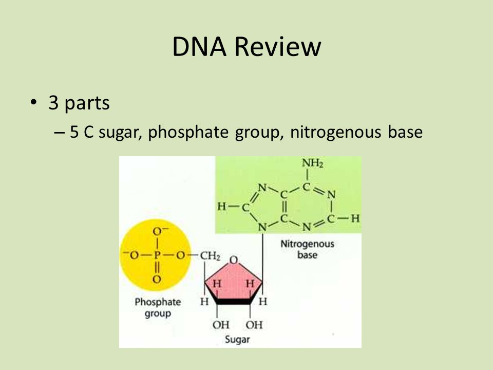 DNA Review 3 parts 5 C sugar, phosphate group, nitrogenous base