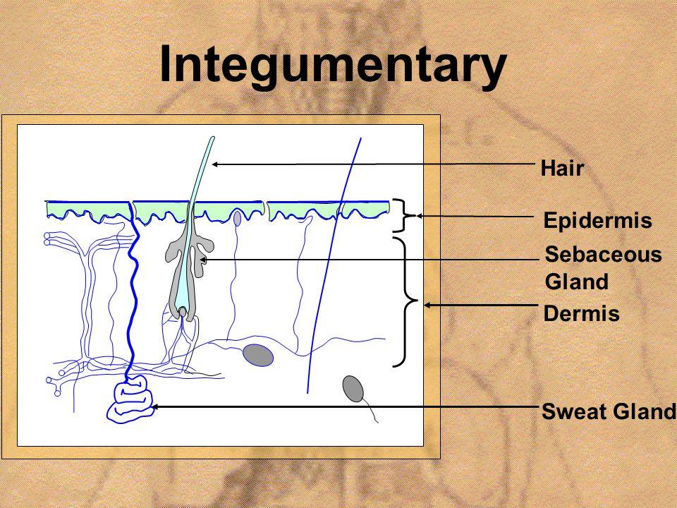 Integumentary Hair Epidermis Sebaceous Gland Dermis Sweat Gland