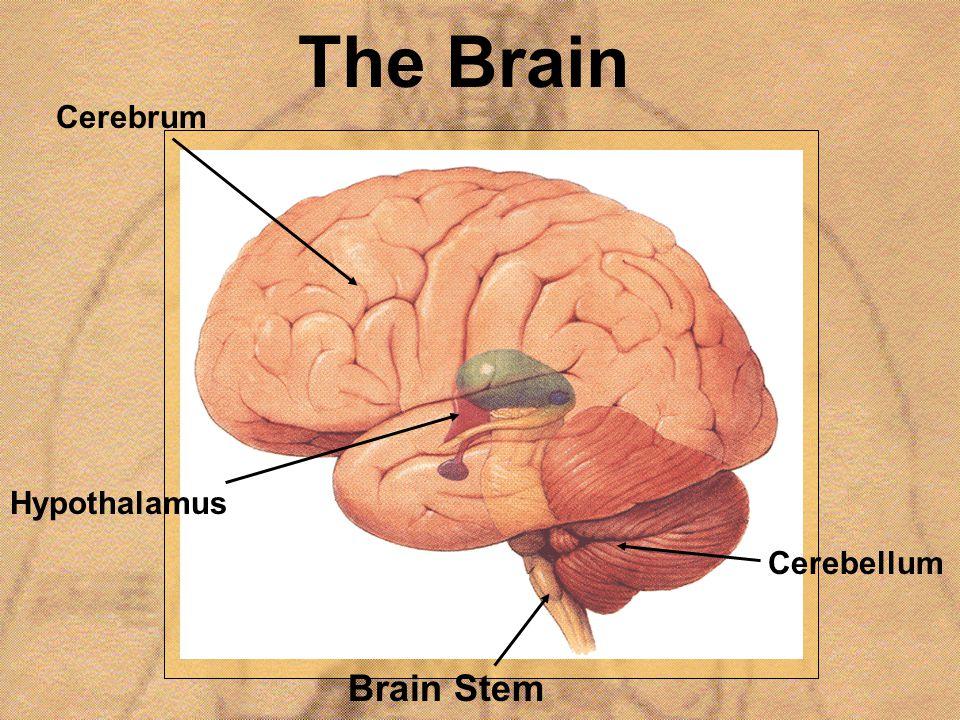 The Brain Brain Stem Cerebrum Hypothalamus Cerebellum