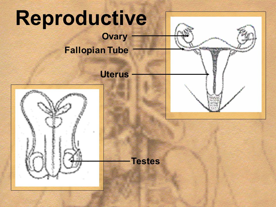 Reproductive Ovary Fallopian Tube Uterus Testes