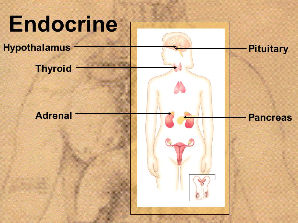Endocrine Hypothalamus Pituitary Thyroid Adrenal Pancreas