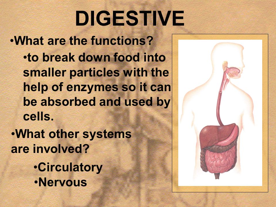 DIGESTIVE What are the functions