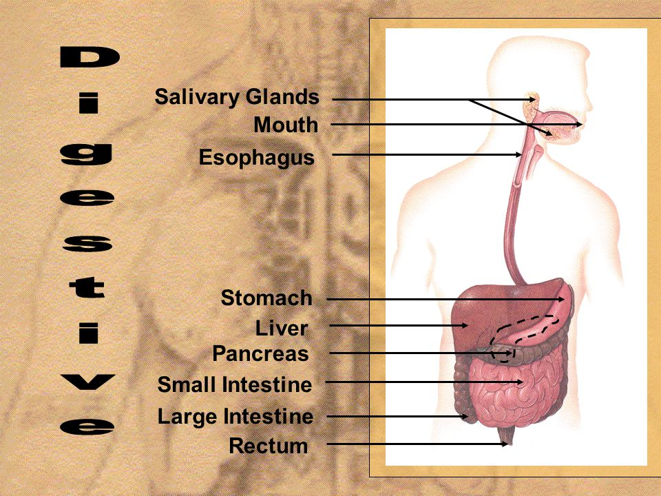 Digestive Salivary Glands Mouth Esophagus Stomach Liver Pancreas