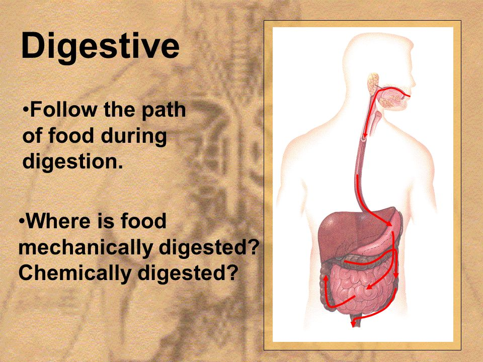 Digestive Follow the path of food during digestion.