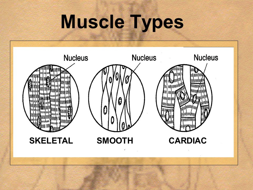 Muscle Types SKELETAL SMOOTH CARDIAC