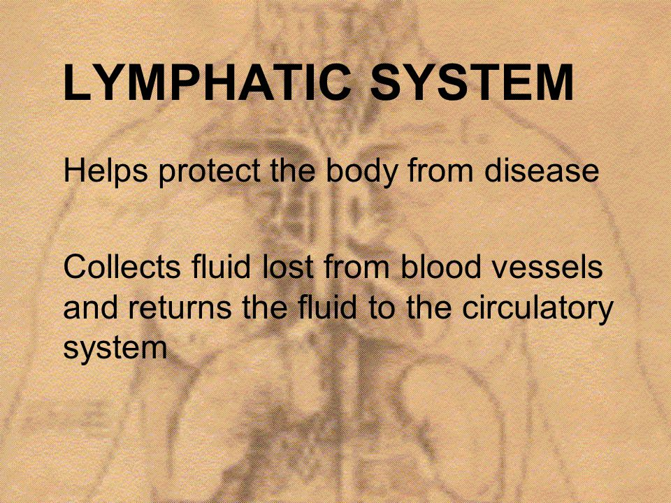 LYMPHATIC SYSTEM Helps protect the body from disease Collects fluid lost from blood vessels and returns the fluid to the circulatory system