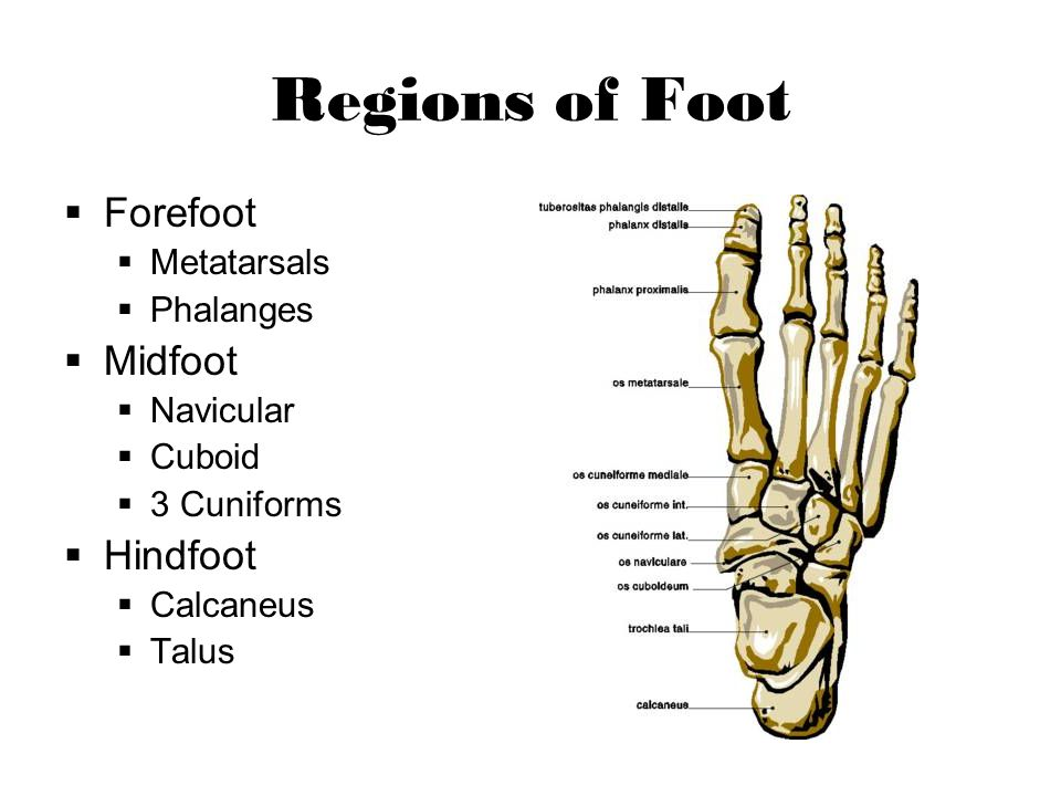 Regions of Foot Forefoot Midfoot Hindfoot Metatarsals Phalanges