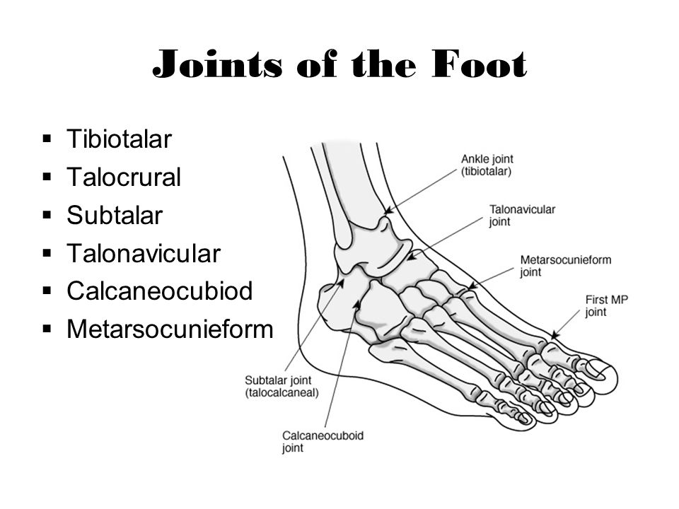 Joints of the Foot Tibiotalar Talocrural Subtalar Talonavicular