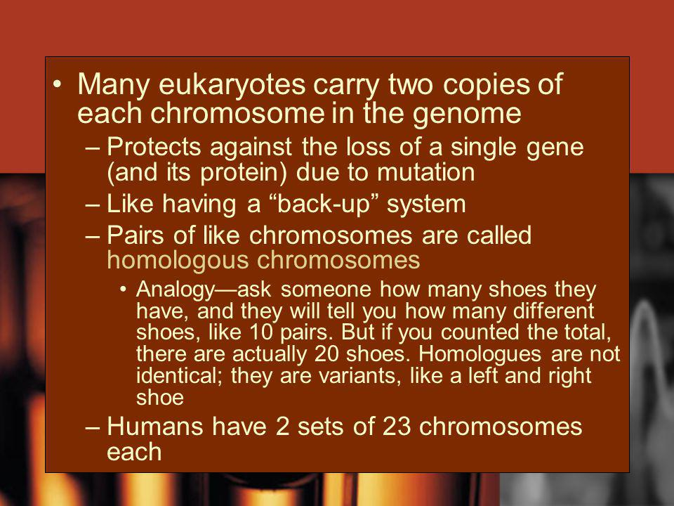 Many eukaryotes carry two copies of each chromosome in the genome