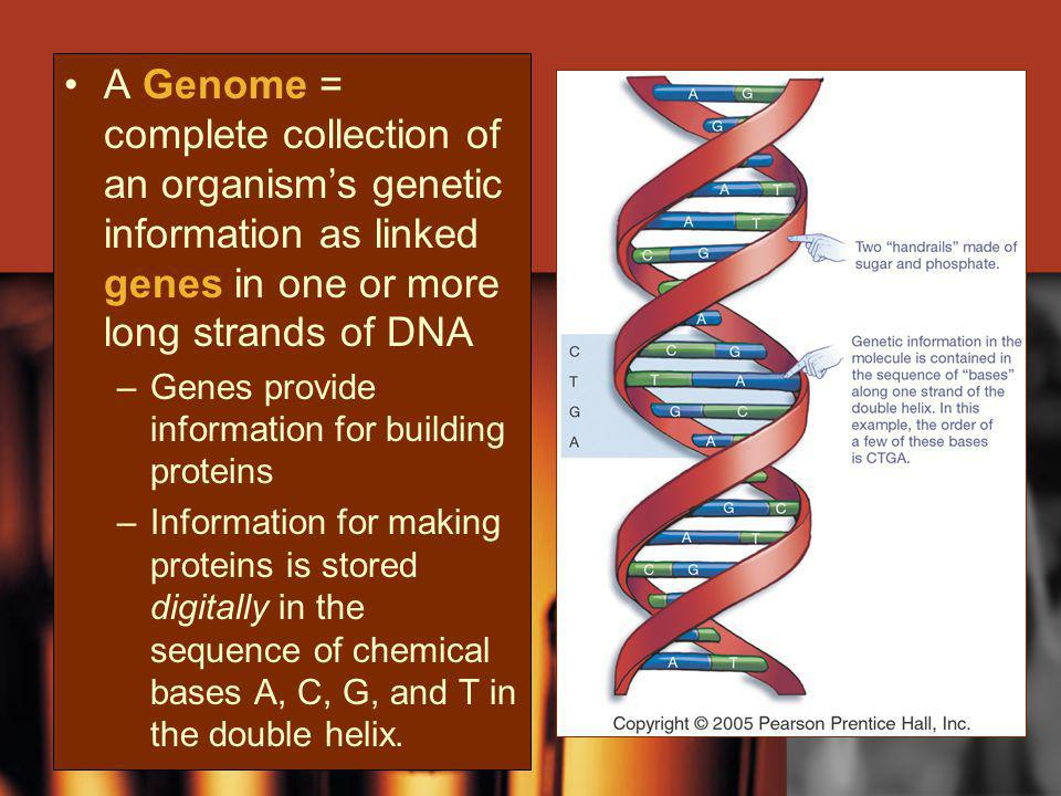 A Genome = complete collection of an organism's genetic information as linked genes in one or more long strands of DNA