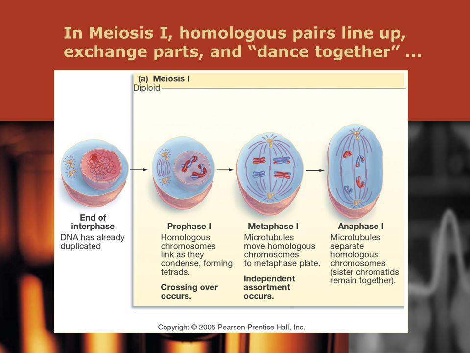 In Meiosis I, homologous pairs line up, exchange parts, and dance together ...