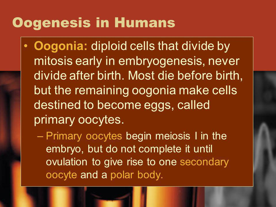 Oogenesis in Humans