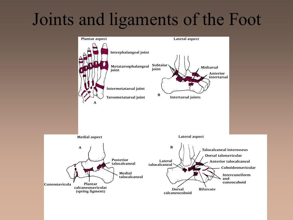 Joints and ligaments of the Foot