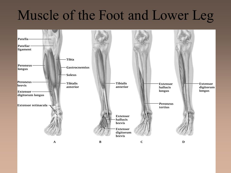 Muscle of the Foot and Lower Leg