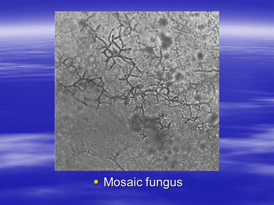Mosaic fungus