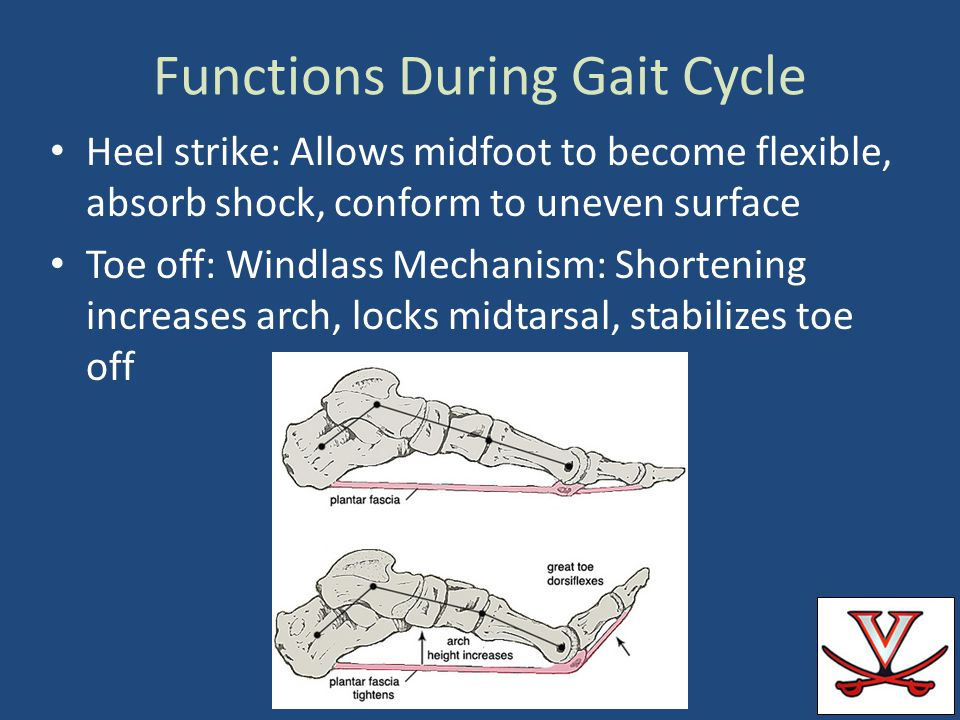 Functions During Gait Cycle